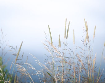 Reeds in the Morning Fog