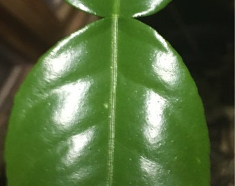 Handpicked Fresh Kaffir Lime Tree Leaves Leaf