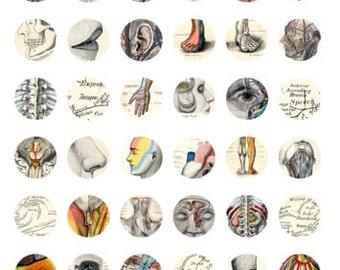 Bottlecap Images Vintage Anatomy Art 1 inch circle digital downloads Anatomically correct heart, bottle cap images digital collage sheet 502