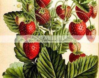 Antique Wild Strawberries Red Stawberry Plant Botanical Art Image - Digital Download Printable Image - Paper Crafts Scrapbook Altered Art