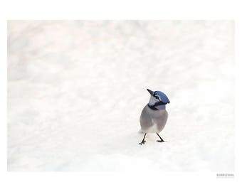 Nature Photography PRINT, Blue Jay in the Snow - 3, Wall Art