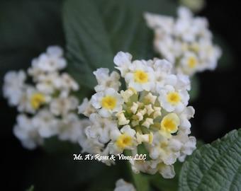 WHITE LANTANA large blooming size plant in quart size pot
