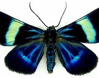 ONE real butterfly day flying moth blue green Milionia delicatula Indonesia