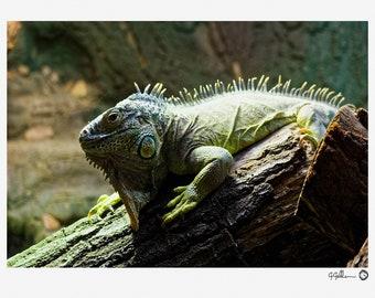 Green Iguana - Lizard, Wildlife, Photography Print