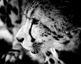 Cheetah Home Decor - Wildlife Wall Art - Modern Black and White Fine Art Animal Photography 11x14