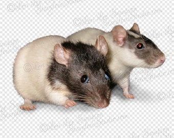 Pet Rats Clipart Photo | Digital Download Stock Photo | Animal Clip Art | Rodent Photo | Transparent Background PNG File