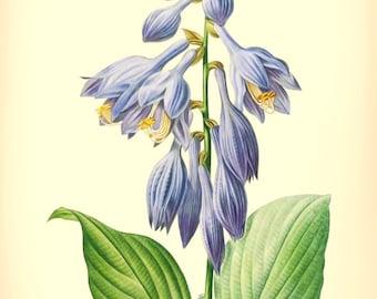 Botanical Print, Instant Floral Art,  vintage flower illustration, No 111