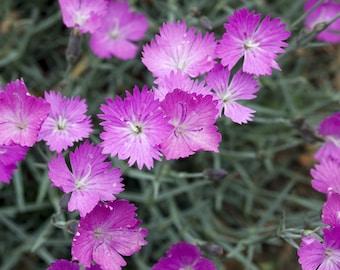 20 Dianthus oschtenica  Seeds