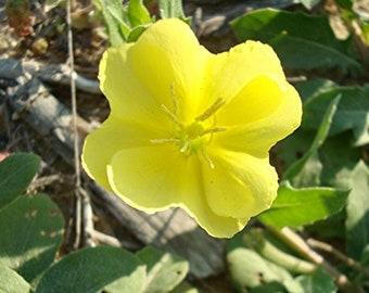EVENING PRIMROSE (Oenothera Laciniata) - Cutleaf - 50+ SEEDS - Wild - Organic