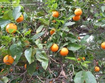 TreesAgain Potted Valencia Orange Tree - Citrus sinensis - 12 to 20+ inches