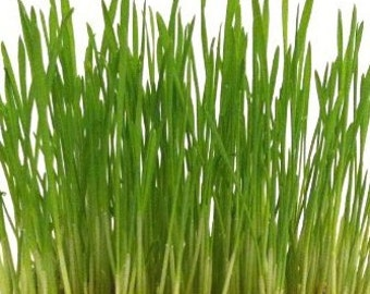 Cat Grass Seeds - Grow your own treat for your happy cats!