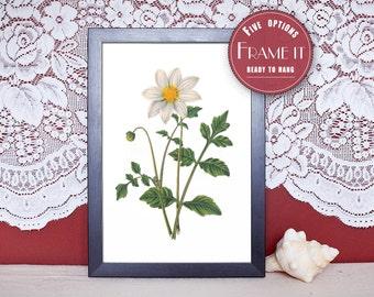 "Vintage illustration of Dahlia - framed fine art print, flower art, 8""x10"" ; 11""x14"", FREE SHIPPING - 144"