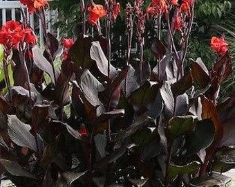 Canna Australia Red Lily quart plant