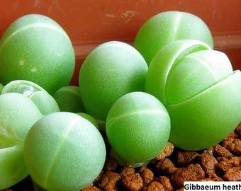 Gibbaeum heathii / Gibbaeum comptonii / 20 seeds
