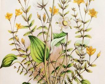 Anne Pratt Antique Botanical Print - St. John's Wort, Grass of Parnassus, Wild Flowers (53)