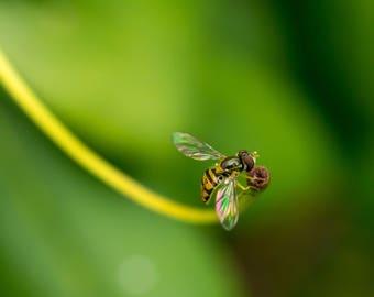 Hoverfly Fine Art Photo Print - Insect Photos - Wildlife Photography - Nature Photography - Gifts for Nature Lovers - Wildlife Prints
