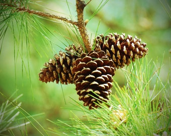 Pine Cones,Pine Tree,Woodland Photography,Nature,Forest Photography,Rustic,Outdoors,Green Decor,Conifer,Christmas pine cones,winter,pine