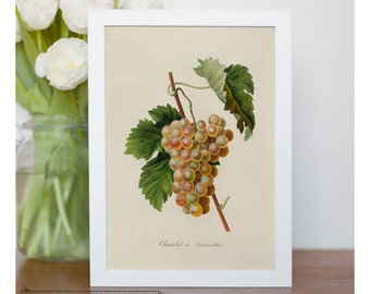 "Vintage fruit illustration of Green Grapes - framed fine art print, botanical art, 8""x10"" ; 11""x14"", FREE SHIPPING 090"