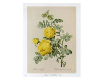 Yellow Rose Redoute Print Botanical Book Plate