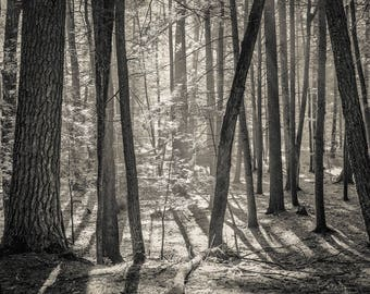 morning light, 8x10 fine art black & white photograph, nature