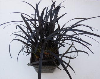 4 Black Mondo Grass 3.5 inch potted plants, Ophiopogon planiscapus Nigrescens