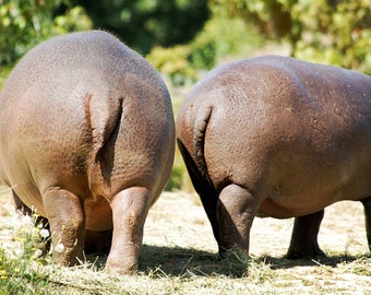 "5"" X 7"" Hippo Butts Photo Card (Blank inside)"