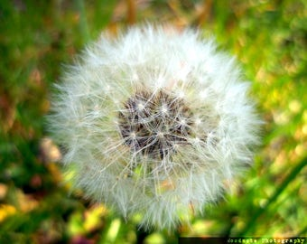 Dandelion (Wish Flower)