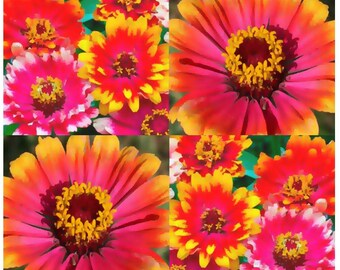 150 or 3,200 x CARROUSEL ZINNIA FLOWER Seeds - Whirligig - Bright Colors Festive Patterns - Blooms Heavily