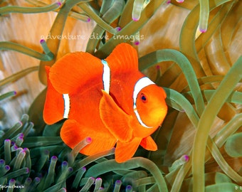 Spinecheek Clownfish Original image-Nautical Home Decor - printed on Aluminum - ready to hang - variety of sizes available