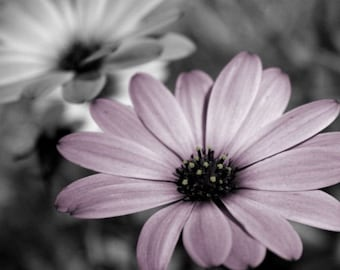 "Purple flower photograph, gray, home decor, wall art -- ""Dainty Daisies"", a 5x7-inch fine art photograph"