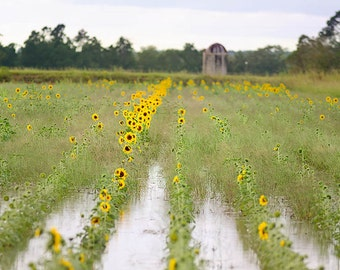 yellow sunflowers in a field of water