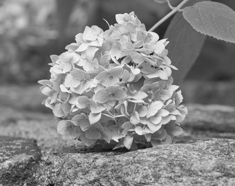 Black & White Hydrangea Photo, Floral Bedroom Art, Black and White Office Art, Wall Art Girls Room, Modern Farmhouse, B and W Bathroom Art