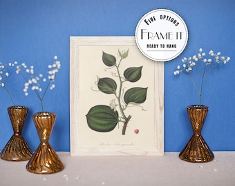 "Vintage illustration of Sarsaparilla - framed fine art print, botanical art, home decor 8""x10"" ; 11""x14"", FREE SHIPPING - 84"