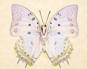 Framed Butterfly White Jewel Conservation Quality Display 303v