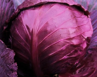 Cabeza Negra Italian Heirloom Cabbage Seeds Non-GMO Naturally Grown Open Pollinated Gardening