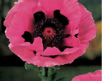 APO)~RASPBERRY ROYALE Poppy~Seeds!!!!!!!~~~~~Spectacular!
