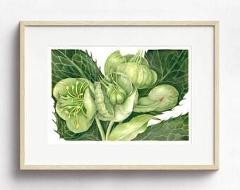 Watercolor Painting, Art Print, Hellebores Plant Print, Flower Painting, Botanical Art, Original Painting