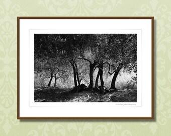 Italian olive trees, black and white, framed fine art, giclee print, modern wall art, home decor, grove, monochrome