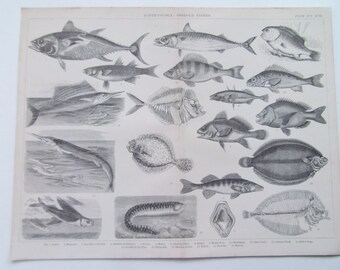 Fishes-Ichthyology-Osseous Fish Antique print dated 1874