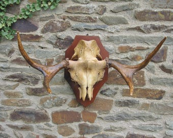 A Good Pair  Of French Taxidermy Hunting Trophy Deer Antlers On Part Skull Mounted On A Mahogany Shield