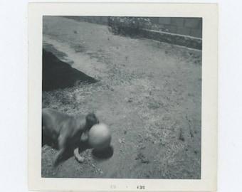 Vintage Snapshot Photo: Dog with Ball, 1963 (78600)