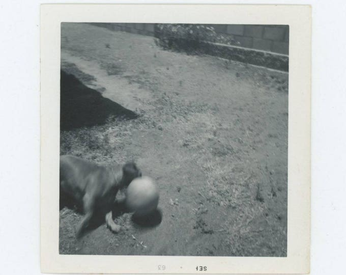 Vintage Snapshot Photo: Dog with Ball, 1963 (78600)