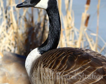 Canadian Goose Digital Download Photo, Nature Photography, Colorado Wildlife