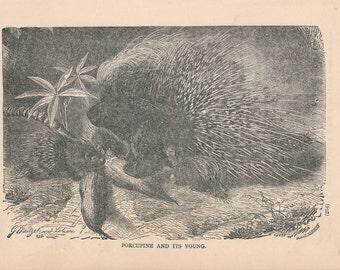 1887 Porcupine Antique Print
