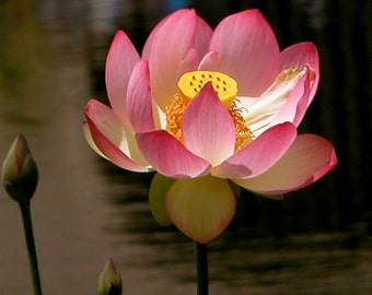 Pink Balinese Lotus Flower- Fine Art Photo Blank Greeting Card--Suitable for Framing-Protected by Copyright