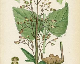 FIGWORT Antique 1905 Botanical  Book  Plate 112 Scrophularia Nodosa