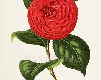Camelia Flower Art Print, Botanical Art Print, Flower Wall Art, Flower Print, Floral Print, red