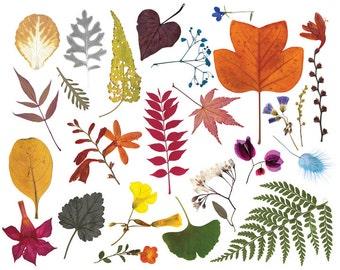 25 real flowers and leaves. Fern, Ginkgo, Ginger Meggs scanned real leaves. Pressed flower photographs. Digital clip art. Botanical print.