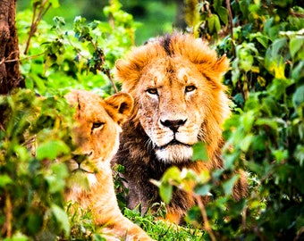 Lion Couple in the Bushes of Tanzania Photography Print
