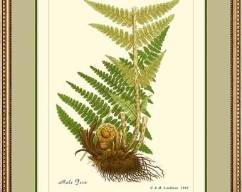 MALE FERN - Vintage Botanical print reproduction 501